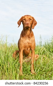 A closeup portrait of a Hungarian Vizsla dog with purple wildflowers and green grass in the background,