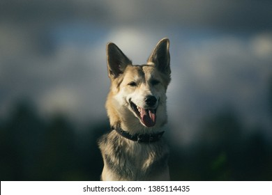 Close-up Portrait of husky dog standing in a filed looking aside. Yellow, green, grass and background . Copy space