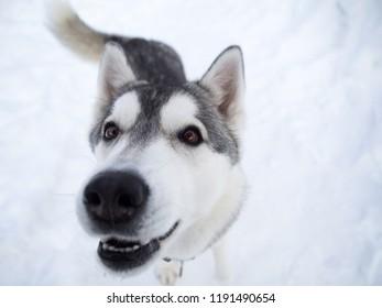 Close-up portrait of a husky dog sticking her nose into the camera