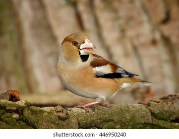 Close-up, portrait of  isolated Coccothraustes coccothraustes sitting on mossy branch against tree bark background.Colorful female of Hawfinch, songbird with huge beak from side view. Winter, Europe.
