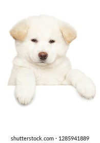 Close-up portrait of a Japanese Akita puppy above banner, isolated on white background. Baby animal theme