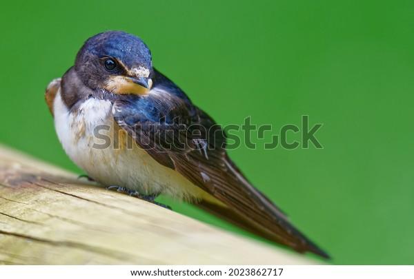 closeup-portrait-juvenile-barn-swallow-6