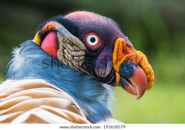 Closeup portrait of a King vulture (Sarcoramphus papa)