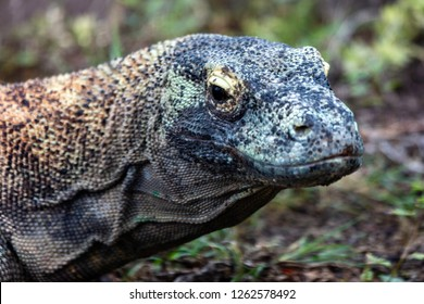 Closeup portrait of a Komodo Dragon or Komodo monitor lizard (Varanus komodoensis).