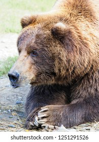 Closeup Portrait of a Large Male Grizzly Bear with Paws Folded in Front as in Prayer