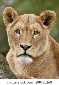 Closeup portrait of a lioness  (Panthera leo) seen from the front