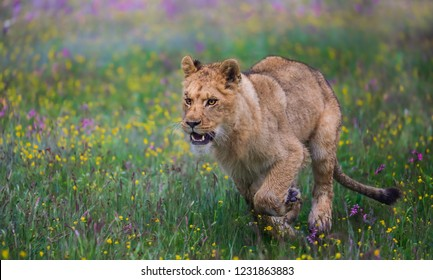 Close-up portrait of a lioness running in a foggy morning through a savanna full of colorful flowers. Impressionistic scene of the top predator in a nature. Lion, Panthera leo.