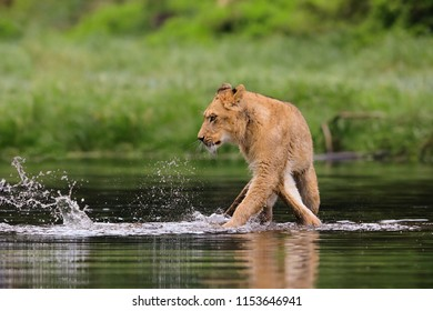 Close-up portrait of a lioness wading through the water. Top predator in a natural environment. Lion, Panthera leo.