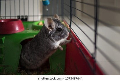 Close-up portrait of little gray chinchilla on animal cage
