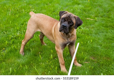 South African Mastiff Images, Stock Photos & Vectors