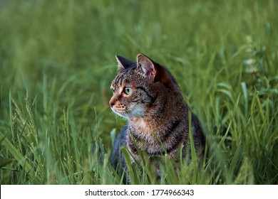 Close-up portrait of a little striped tabby cat walking on a green meadow in summer in tall grass. Blurred background