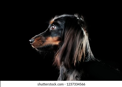 Closeup portrait of a long haired dachshund dog against black background