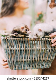 The close-up portrait of the lovely gray and brown ferrets in the woven box held by the hands of the blurred newlywed couple.