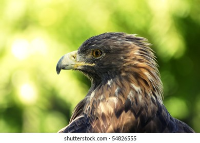 Close-up portrait of a magnificent golden eagle resting in the shade contrasted by off focus green foliage
