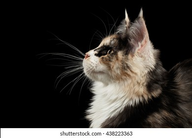 Closeup portrait of Maine Coon Cat in Profile view Looking up Isolated on Black Background