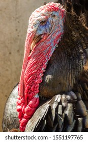 Close-up portrait of a male adult turkey with a wonderful plumage and an awesome crest. soft-focus in the background.