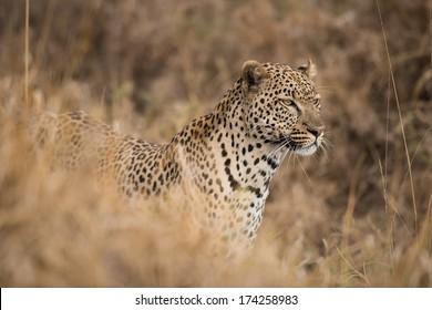 Closeup portrait of male leopard, Serengeti, Tanzania
