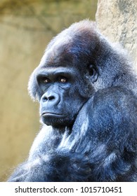 Closeup Portrait of a Male Silverback or Lowland Gorilla Looking Right at You