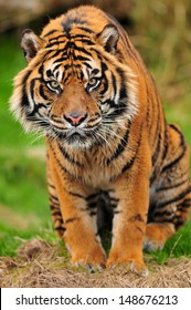 Closeup portrait of a male Sumatran tiger staring straight at the camera