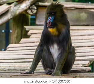 closeup portrait of a mandrill monkey, tropical primate with a colorful face, Vulnerable animal specie from Cameroon, Africa