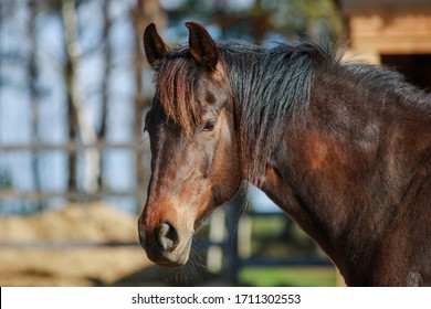 closeup portrait of mare horse in paddock in spring in daytime