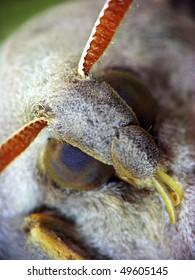 The close-up portrait of Marumba quercus