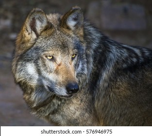 Closeup portrait of a Mexican gray wolf (Canis lupus baileyi).