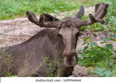 Closeup portrait of a moose bull