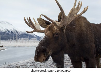 Closeup portrait of a moose. Girdwood, Alaska.