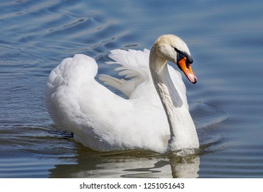 Close-up Portrait of a Mute Swan (Cygnus olor)  with blurred  background