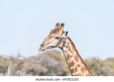 Close-up portrait of a Namibian giraffe, giraffa camelopardalis angolensis in northern Namibia