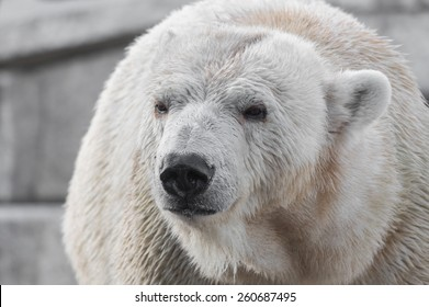 Closeup portrait of an old polar bear, an endangered species from the Arctic