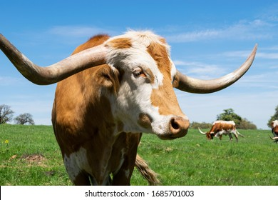 Closeup portrait of an orange brown Longhorn bull with long, deeply curved horns and a white face with a stripe down the middle standing in a ranch pasture on a sunny afternoon.