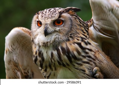 Close-up portrait of an Owl in front of a green forest ready to take off