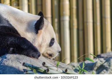 Closeup portrait of panda in Toronto zoo, Ontario, Canada
