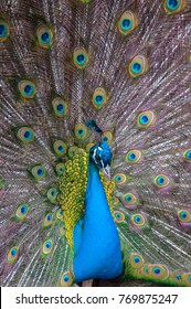 Closeup Portrait of Peacock with Feathers Out