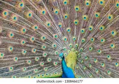 Closeup Portrait of a Peacock with Open Feathers
