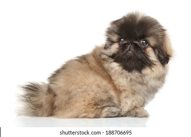 Close-up portrait of pekingese puppy on a white background
