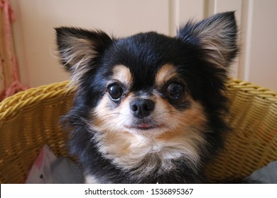 Closeup portrait photo of an adorable black golden long hair chihuahua puppy dog isolated on white
