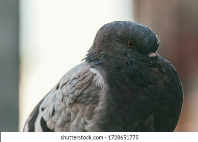 close-up portrait of a pigeon side view