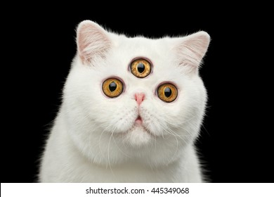 Close-up Portrait of predictor Pure White Exotic Cat with Three eyes Head, Isolated Black Background, Front view, Curious fascinated Looks, third eye on forehead