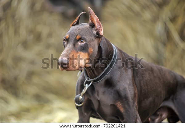 Close-up portrait of purebred brown Doberman.
