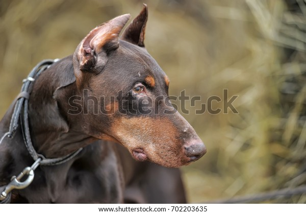Close-up portrait of purebred brown Doberman.