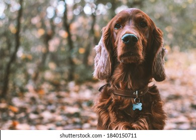 Closeup portrait of a purebred irish red setter gundog hunting dog breed wearing a brown leather collar with a dog tag outdoors in the forest in fall season