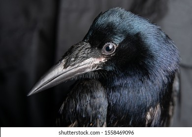 Close-up portrait of a raven bird (black crow) on black background.