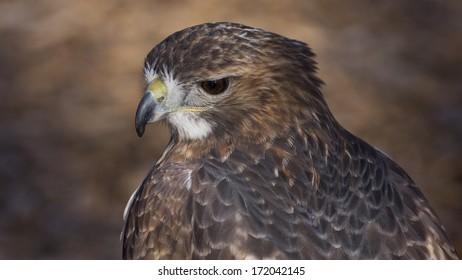 closeup portrait of a red tail hawk