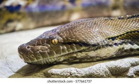Closeup portrait of a reticulated python (Python reticulatus) snake.