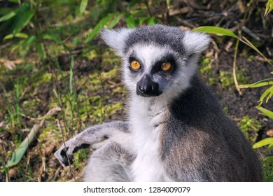 Close-up portrait of a ring-tailed lemur