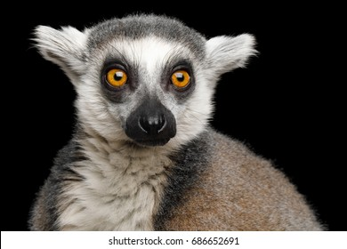 Close-up Portrait of Ring-tailed Lemur Madagascar animal, Isolated on Black Background