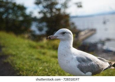 closeup portrait of seagull on meadow
